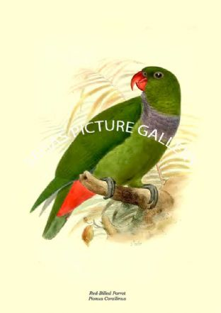 Red-Billed Parrot - Pionus Corallinus